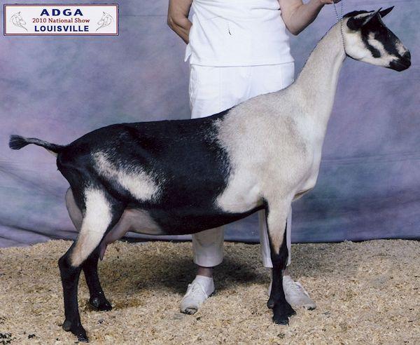 lamancha goats